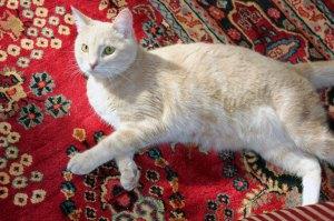 Persian Magical carpet, cat,