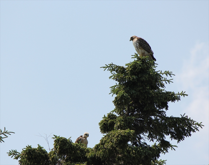 Papa Hawk at the HAwk's Nest